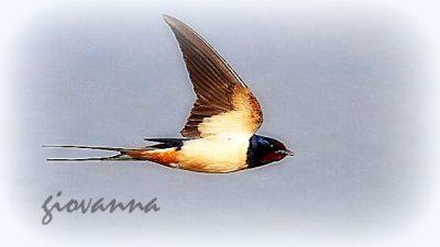 Sempre meno rondini: uccelli migratori minacciati dal riscaldamento globale.